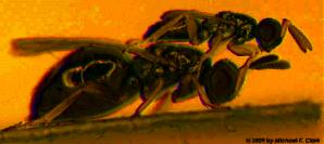 Adult Male and Female Nasonia vitripennis