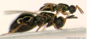 Adult Male and Female Nasonia vitripennis